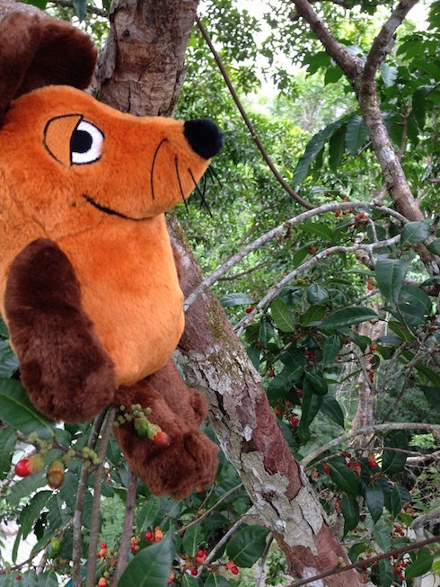 Maus im Wipfel eines sehr hohen Urwaldbaumes (ca. 23 Meter über dem Boden)