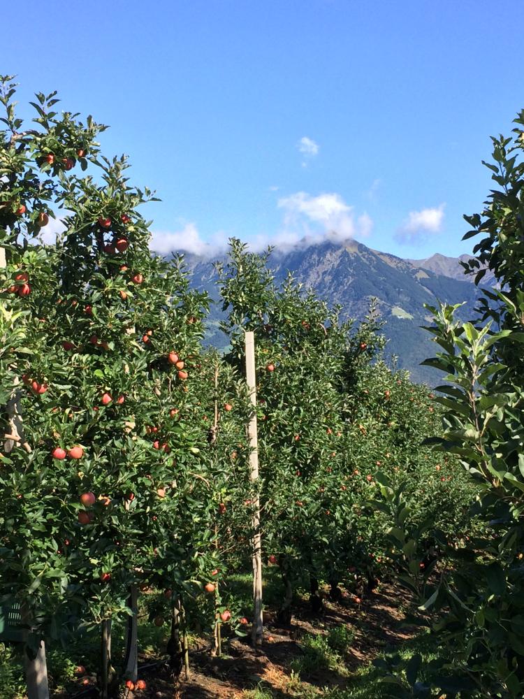 Noch begleiten uns Apfelplantagen. Je südlicher wir kommen, werden daraus mehr und mehr Rebstöcke