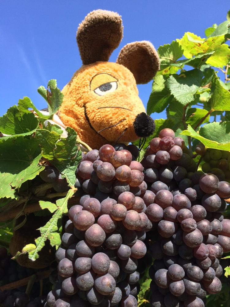 .... oder die blauen Trauben besser ? Egal, denn das Ergebnis in Form des Weines und/oder Grappas zählt :-)