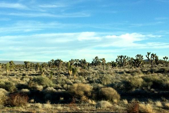 Joshua-Trees rechts und links des Highway, soweit das Auge reicht
