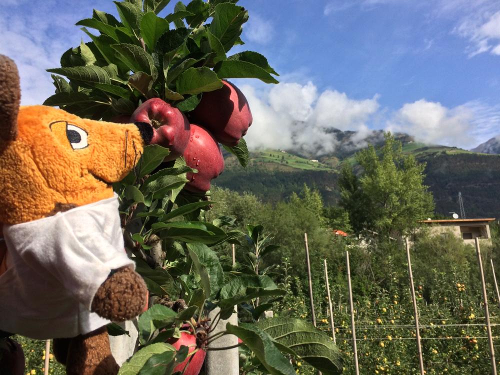 Wie gestern säumen Apfelplantagen unseren Weg