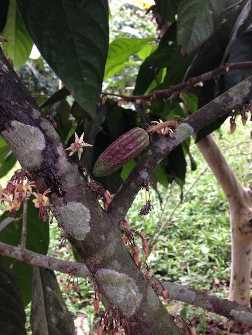 Kakaoschote - wenige Tage alt (ca. 6 cm groß)