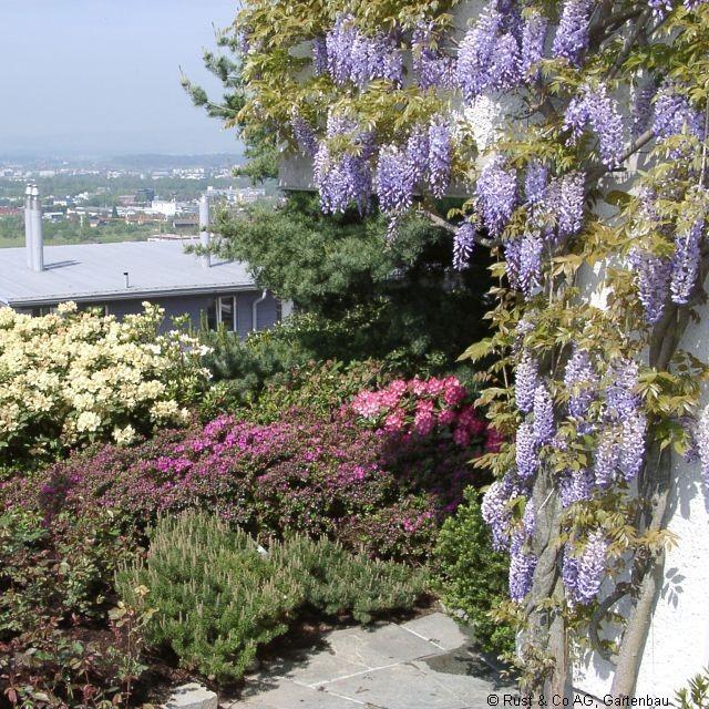 Wisteria sinensis in voller Blüte