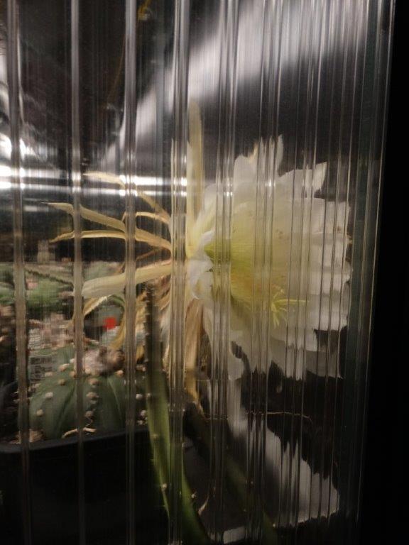 Leider war die Blüte nur gegen die Gewächshauswand geöffnet darum die Ungewohnte perspektive.
