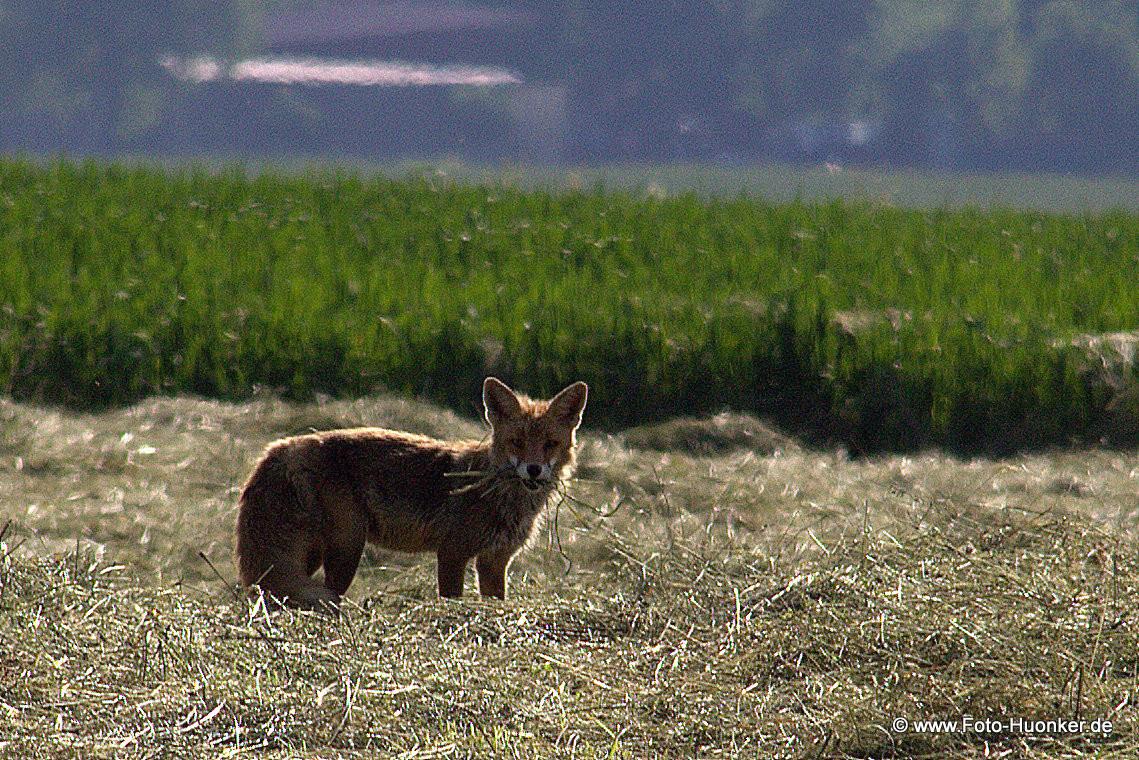 Fuchs 08.06.2014