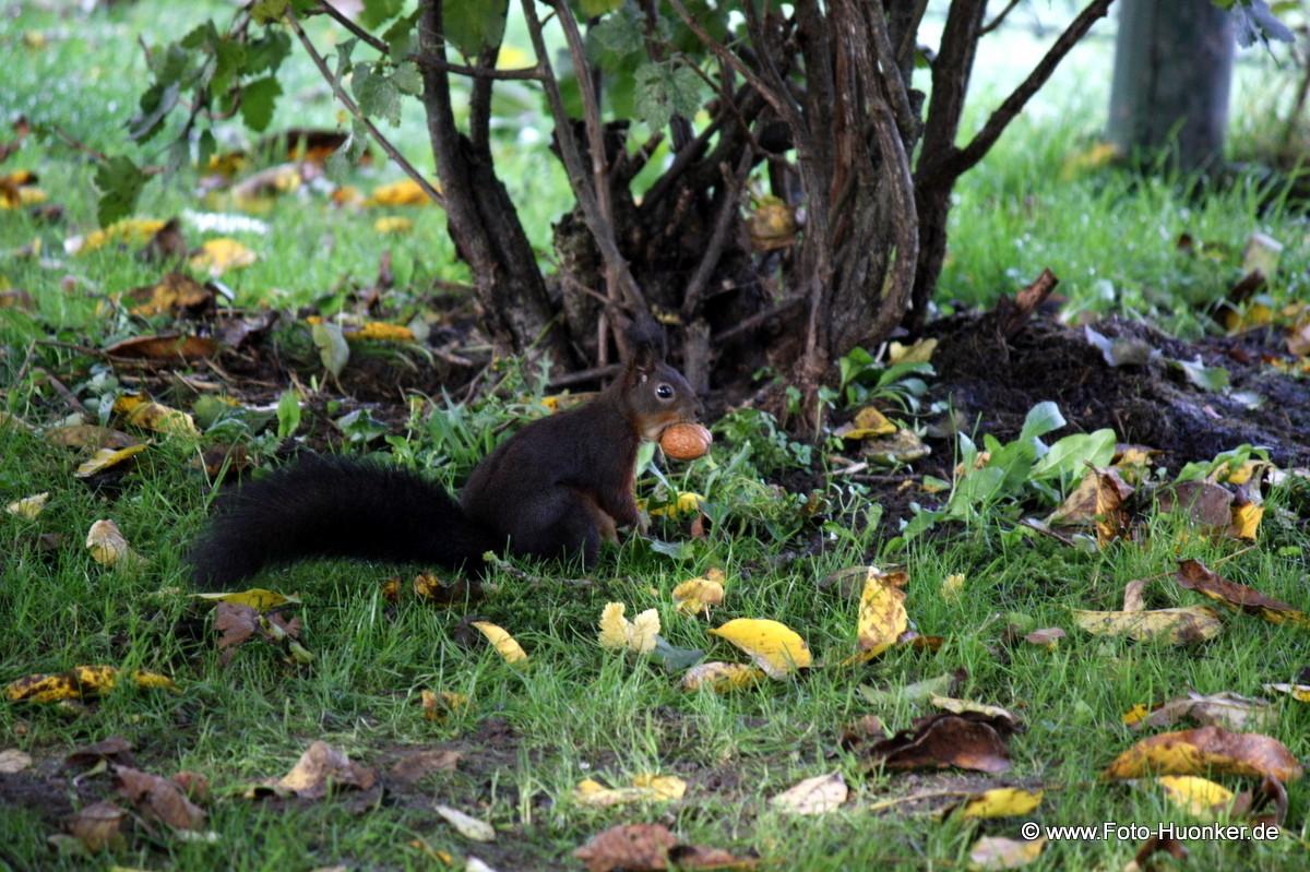 Eichhörnchen 13.10.2012