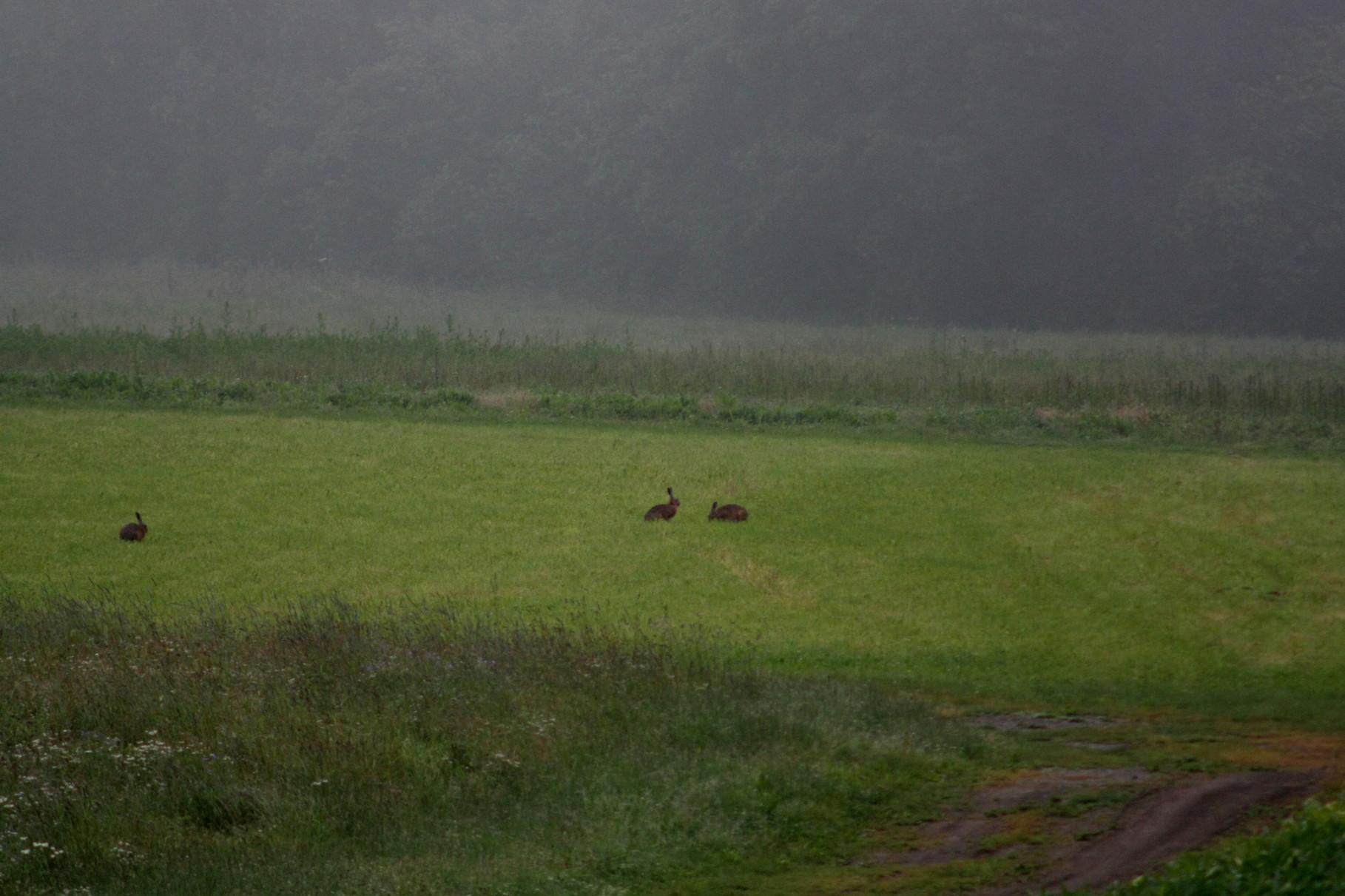 Hasen auf der Wiese 24.06.2009
