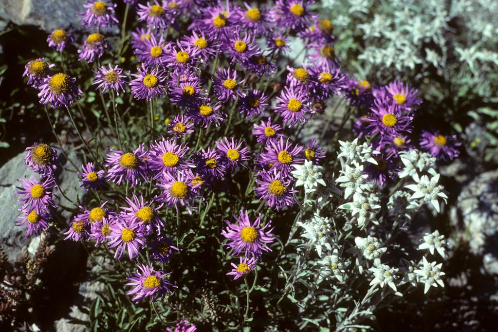 Alpen-Aster Aster alpinus  und  Edelweiss  Leontopodium alpinum