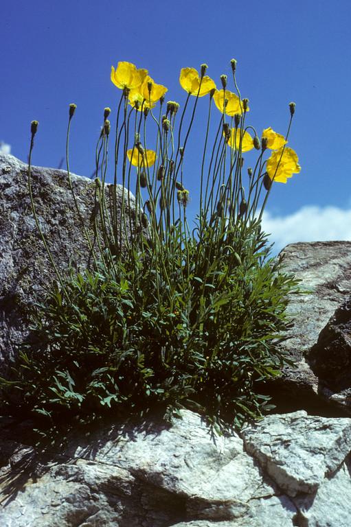 Alpen-Mohn  Papaver alpinum