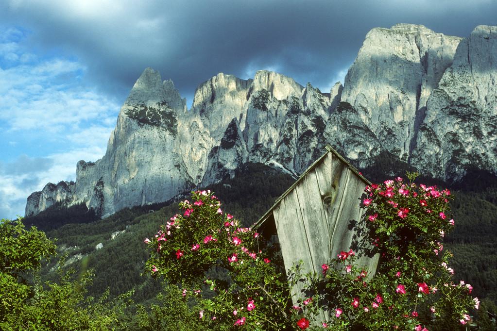 Alpen-Heckenrose  Rosa pendulina  - Dolomiten -