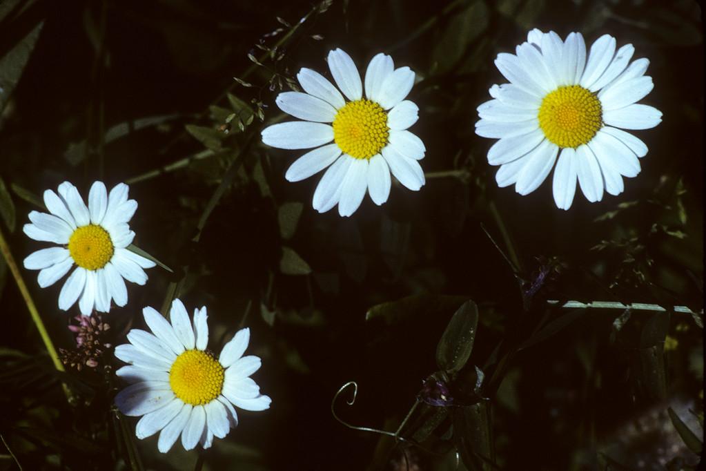 Margerite  Chrysantemum leucanthemum L.