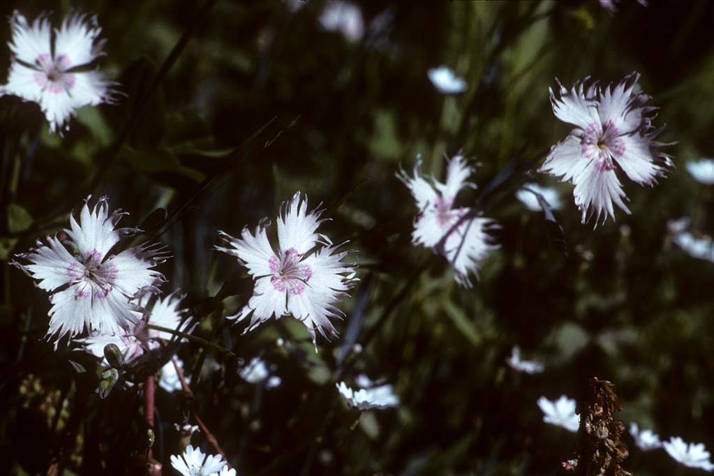Prachtnelke  Dianthus sp.
