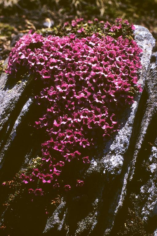 Roter Steinbrech  Saxifraga opositifolia
