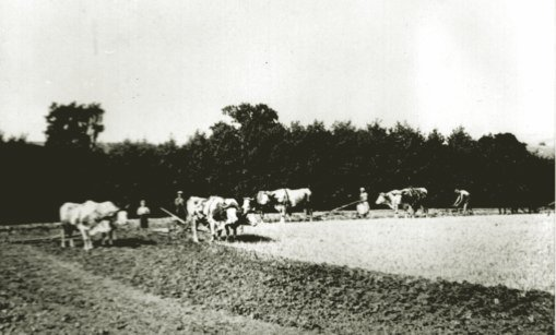 Rittergut Heynitz, Feldbestellung mit acht Zugochsen, Foto: Nachlass Benno von Heynitz