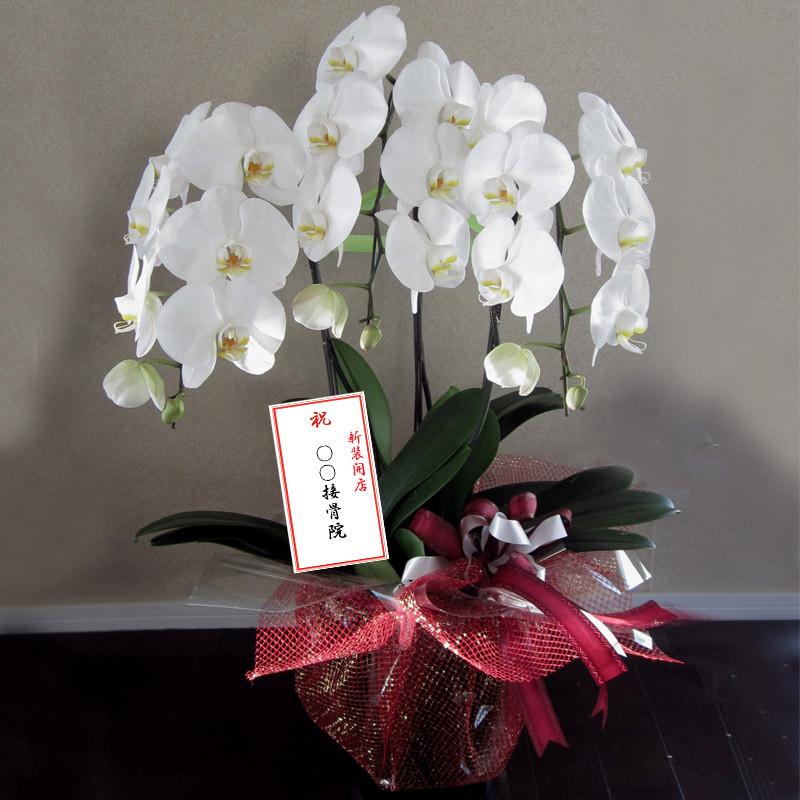 新築・開店のお祝いには、白の胡蝶蘭は最適です。心のこもったメッセージを付けて!