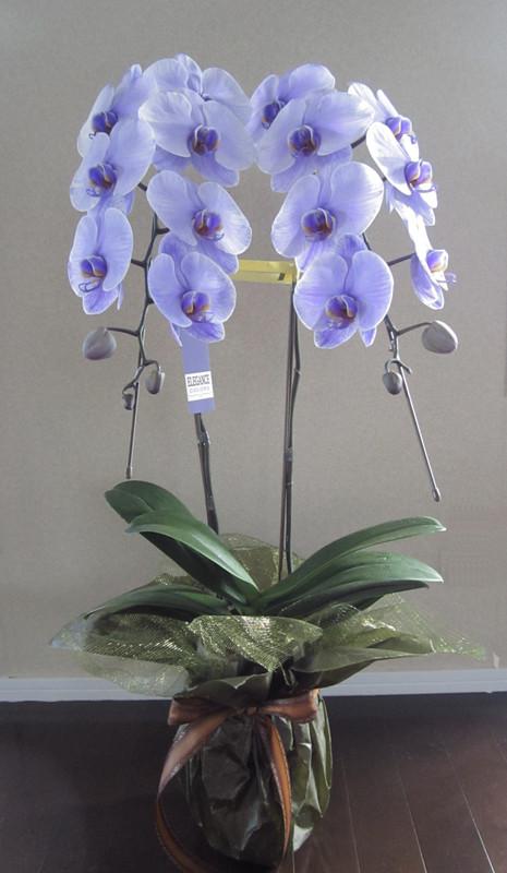 紫の胡蝶蘭をお見舞いや大切な方へ、花の効果も添えてギフトにしてみてはいかがですか?