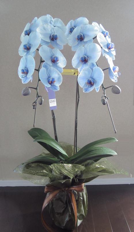 ブルー色の胡蝶蘭は、優雅で美しいその姿は気分を高揚させ、ホルモンの分泌を促す効果を持っています。青は浄化や鎮静の効果があります。心おだやかになりたい時ややさしくなりたい時におすすめ、浄化するのでお部屋に置いても効果的。また、お見舞いや大切な方へ、花の効果も添えてギフトにしてみてはいかがですか?