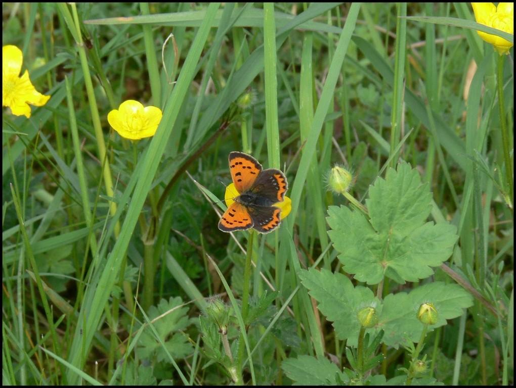 Cuivré commun Lycaena phlaeas (Lycaenidae) Monts d'Eraines(14) 05/05/06