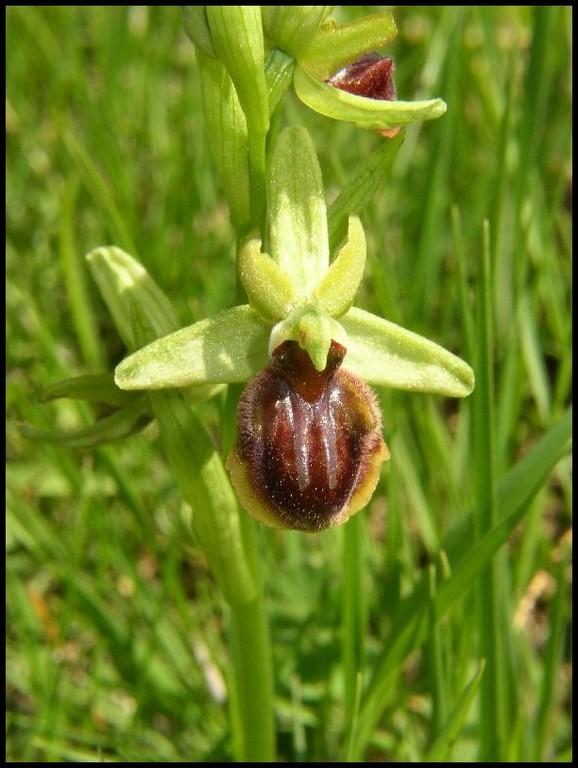Ophrys aranifera Parahou Grand (11) Le : 07-05-2005