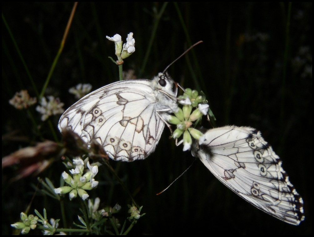Le Demi-deuil-Melanargia galathea (Satyridae) Grabels (34)