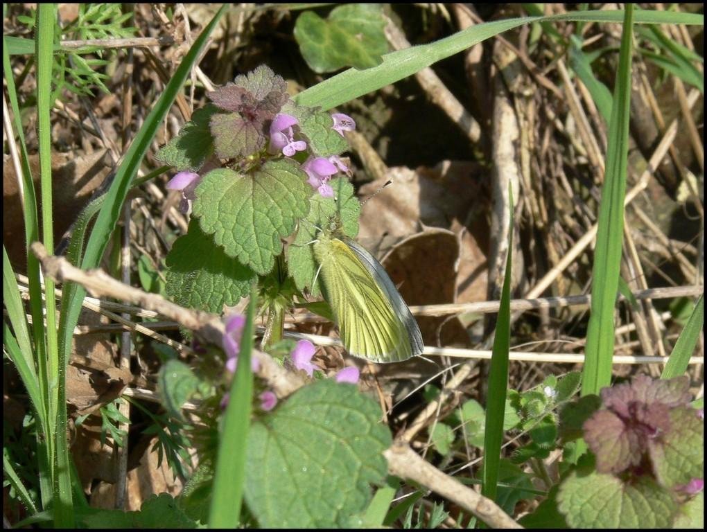 La Piéride du chou-Pieris brassicae (Pieridae) Vire (14) 28/04/06