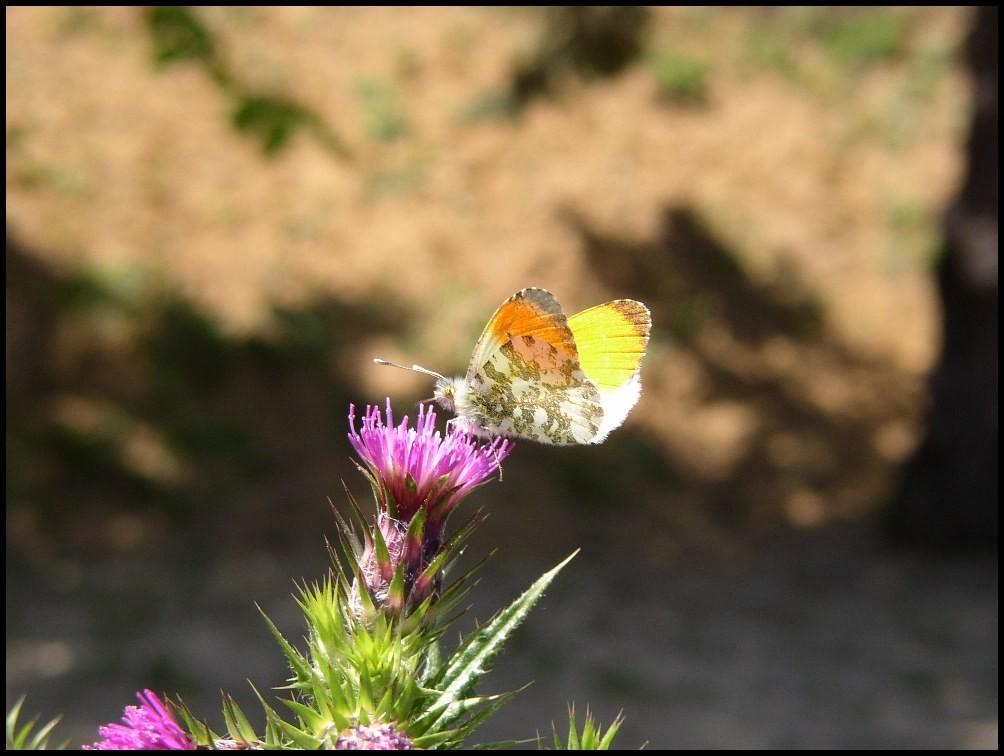 L'Aurore- Anthocaris cardamines (Pieridae) St Paul et Valmalle CD111 09/05/04