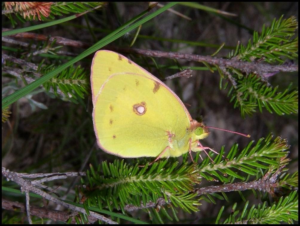 -Le Souci-Colias crocea ( Pieridae) Grabels (34) 01-06-04