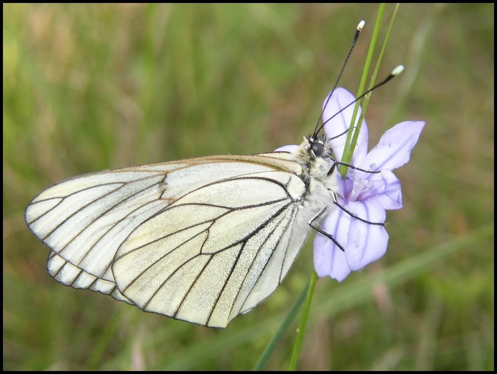 Le Gazé-Aporia crataegi (Pieridae) Grabels 11/05/05