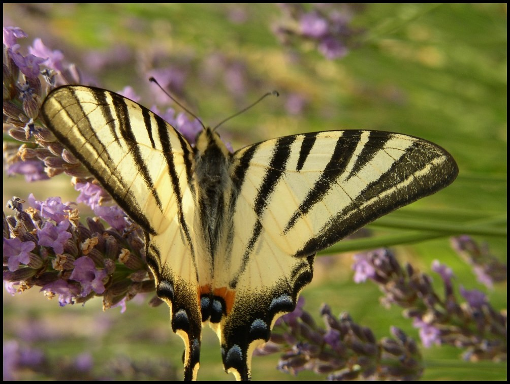 Le Flambé, Iphiclides podalirius (Papilionidae) Grabels (34)  24-06-2003