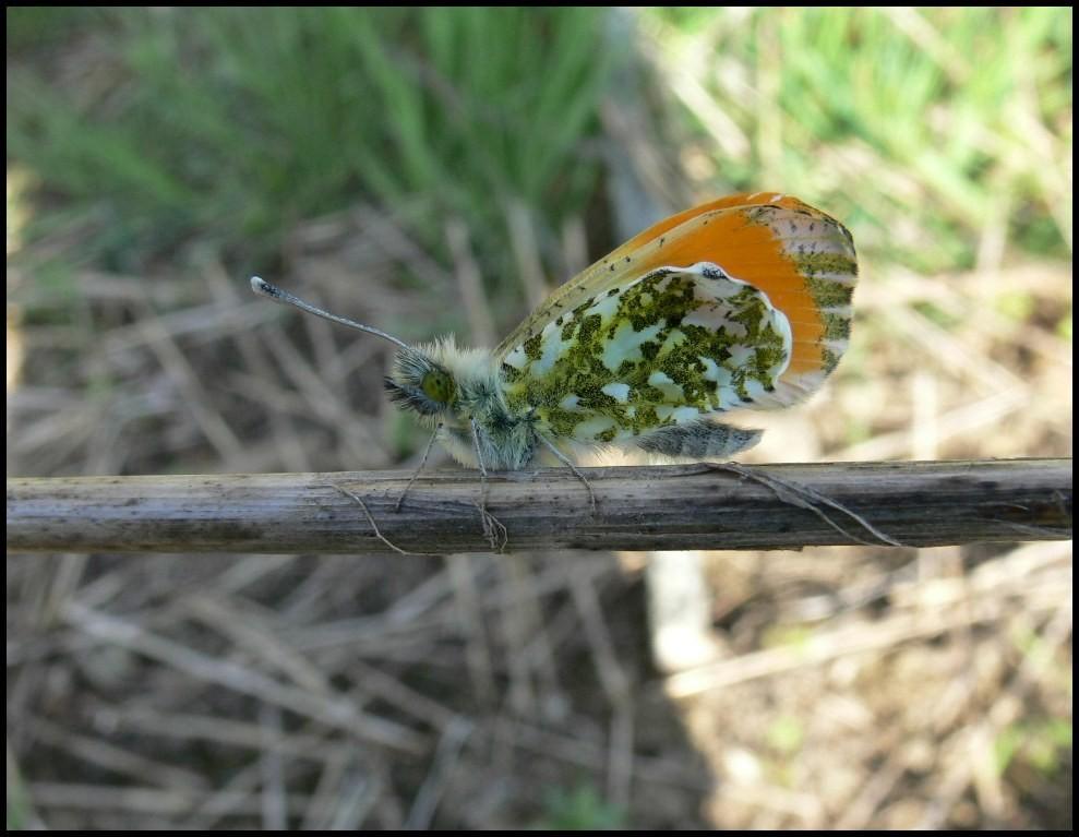 L'Aurore-Anthocaris cardamines (Pieridae) Vire (14)