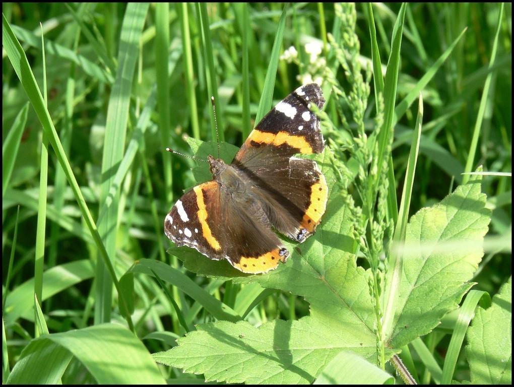 Le Vulcain, Vanessa atalanta (Nymphalidae), Vire (14) 27/05/2006