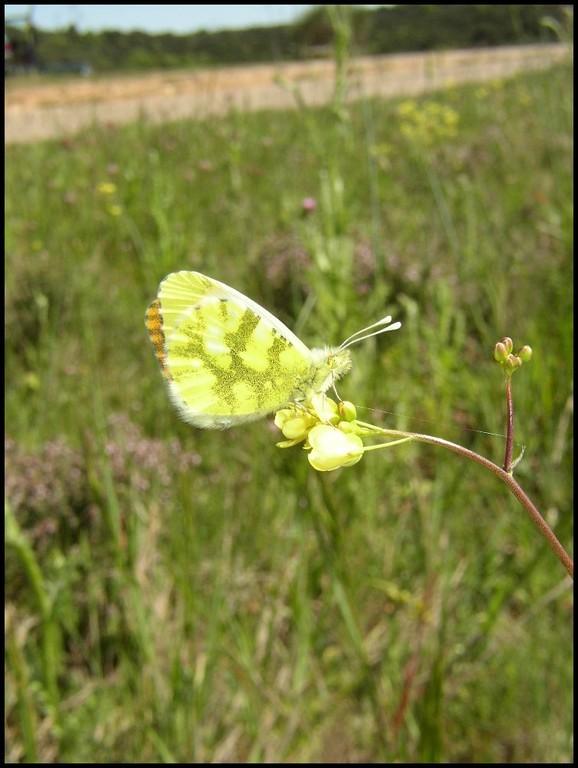 L'Aurore de provence-Anthocharis euphenoides (Pieridae) St Paul et Valmalle 09/05/04