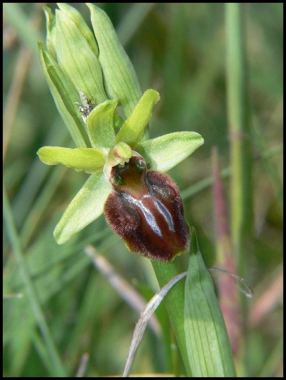 Ophrys aranifera Bec d'Andaines (50) Le : 21-04-2007