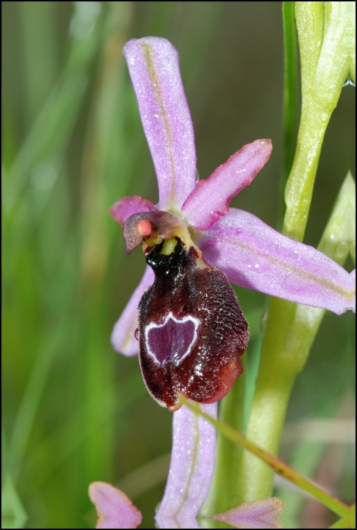 Ophrys drumana Gigors (26) Le 12 Mai 2010