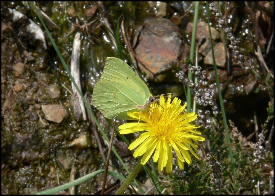 Citron-Gonepteryx rhamni (Pieridae) St Sever 22/04/06