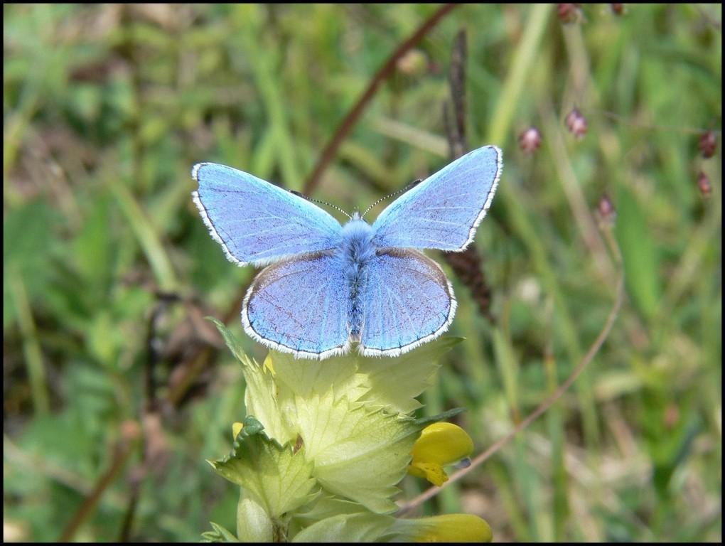 Argus bleu-Polyommatus icarus(Lycaenidae) Mont canisy 03/06/06