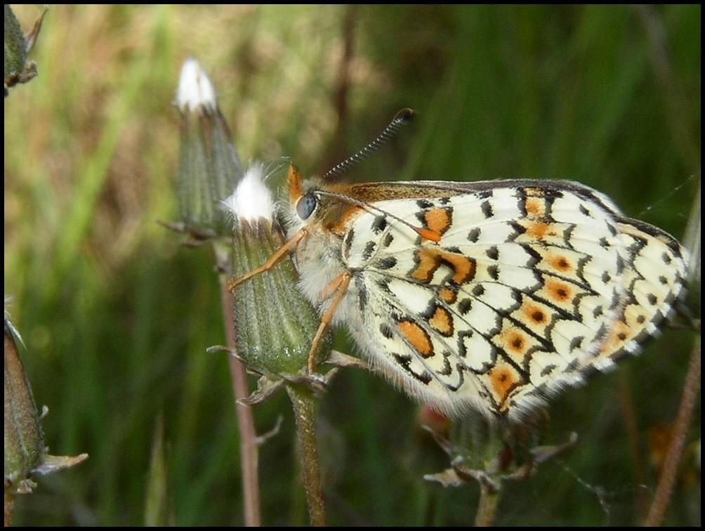 Mélitée des centaurées- Melitaea phoebe (Nympahlidae) Grabels (34) 06/05/04