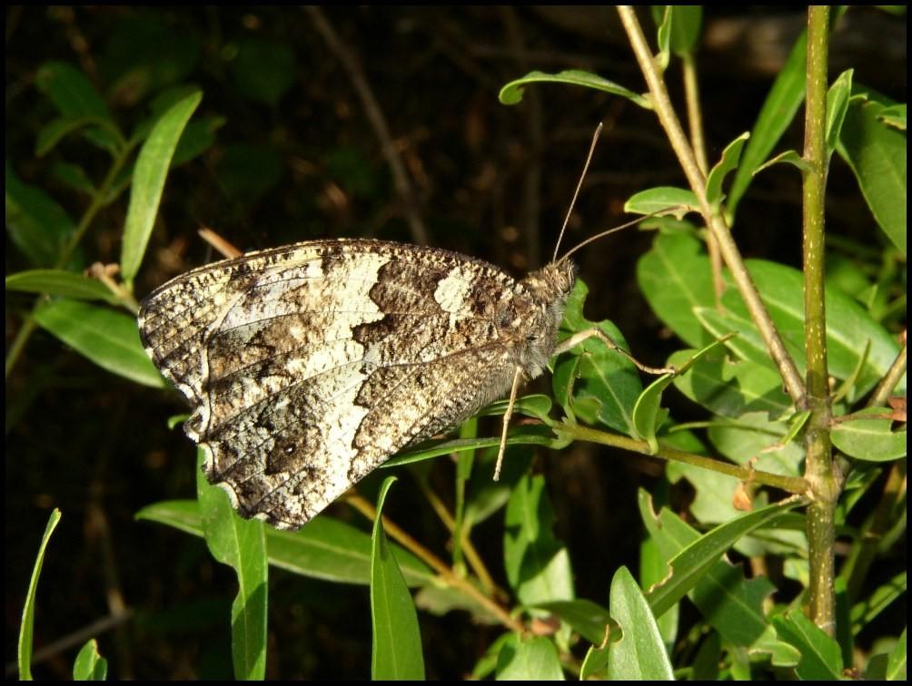 Le Silène-Brintesia circe (Nymphalidae) Grabels (34)