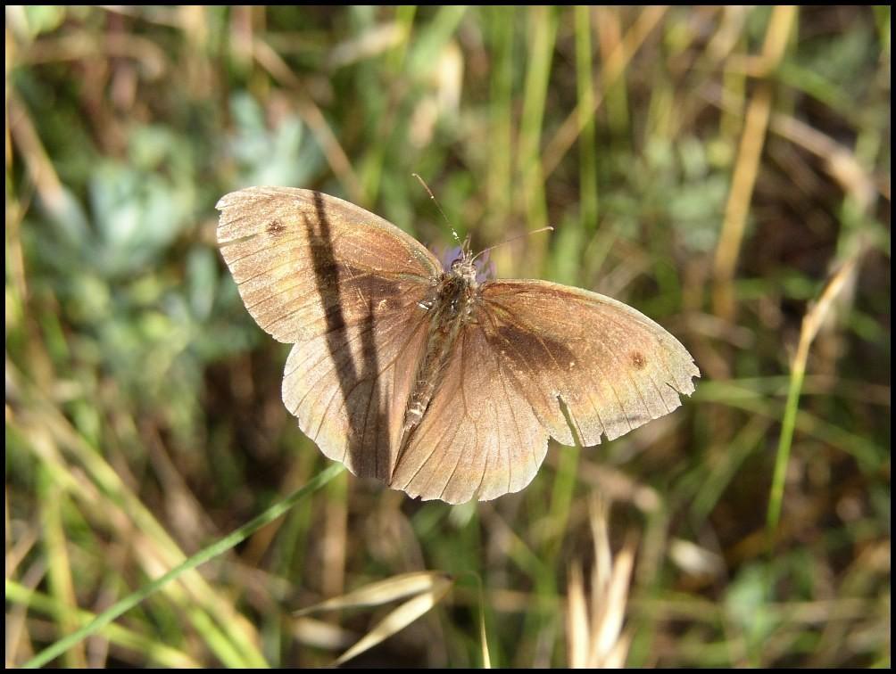 Le Myrtil-Maniola jurtina (Satyridae) Grabels (34)