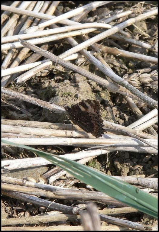 Vanesse de l'ortie-Aglais urticae (Nymphalidae), Vire 04/05/06