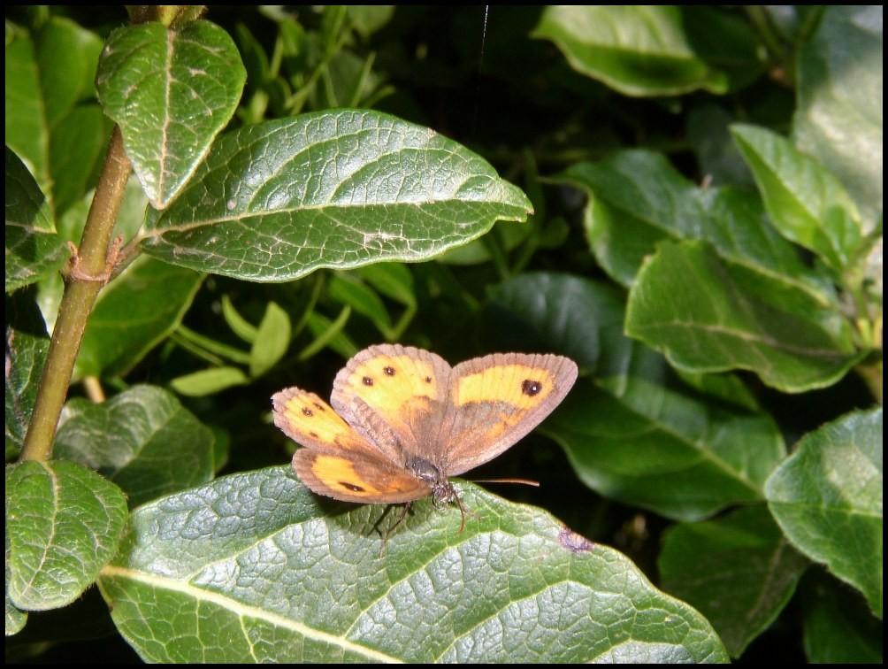 L'Ocellé rubanné-Pyronia-bathseba (Satyridae) Grabels (34)
