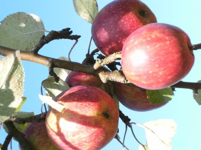 Äpfel zum Reinbeißen...