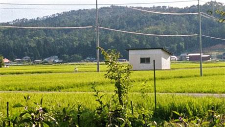 田んぼで黄金の稲穂を表現したいのが本音でした。