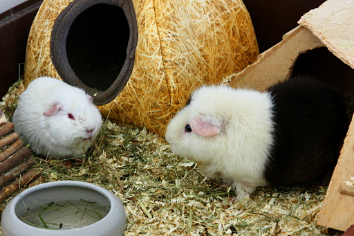 More guinea pigs