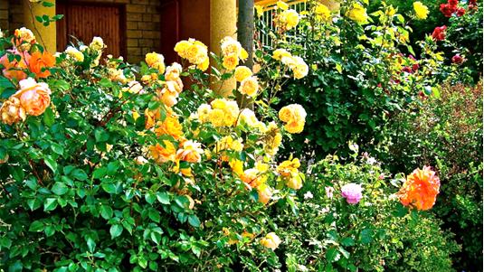 наш розовый сад у дома