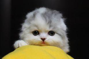 питомник шотландских кошек Kliofoldcity