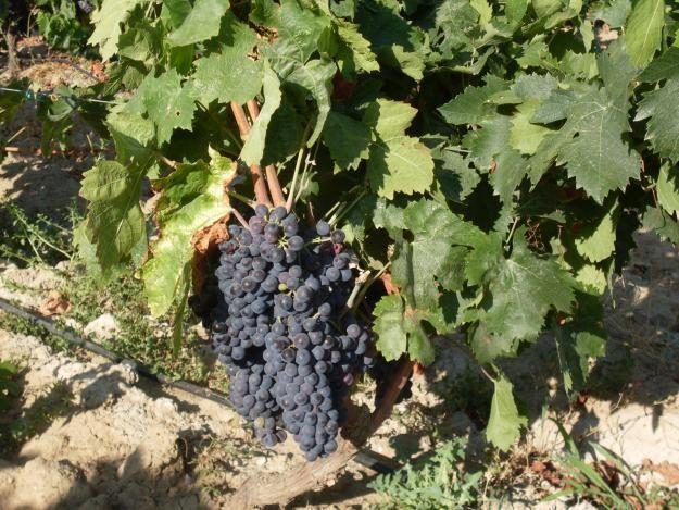 Vite da Vino, Cultivar Carignano del Sulcis
