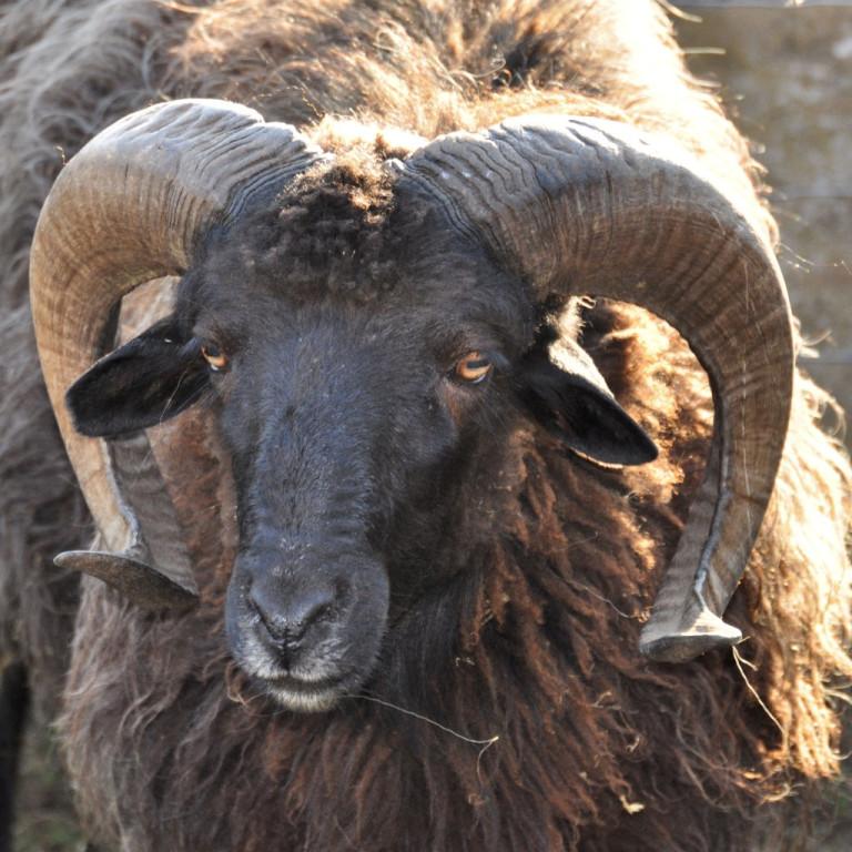 Pecora Nera di Arbus, Narcao CI