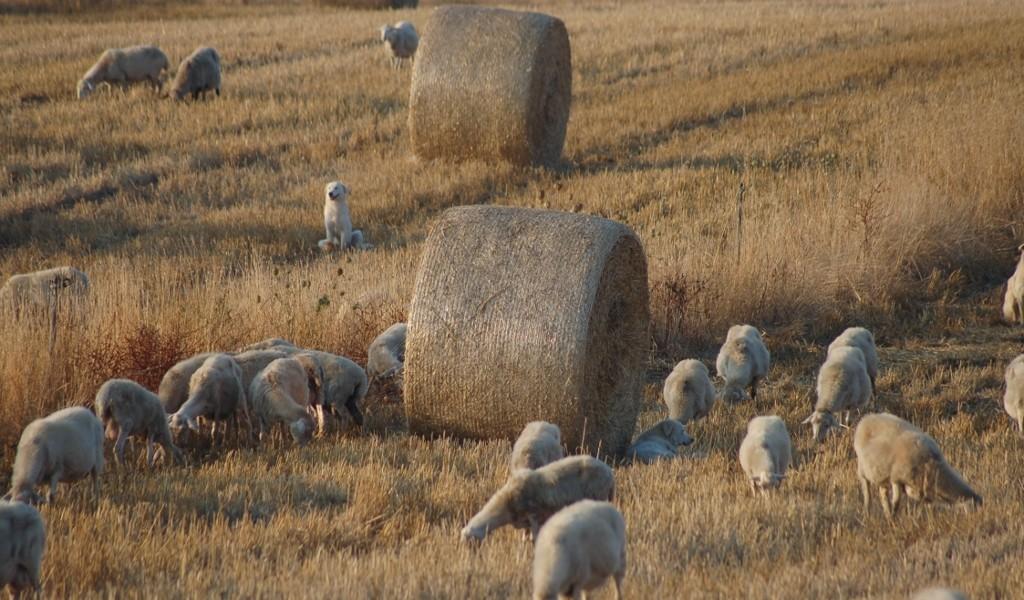 Pecore di Razza Sarda al Pascolo, Narcao CI