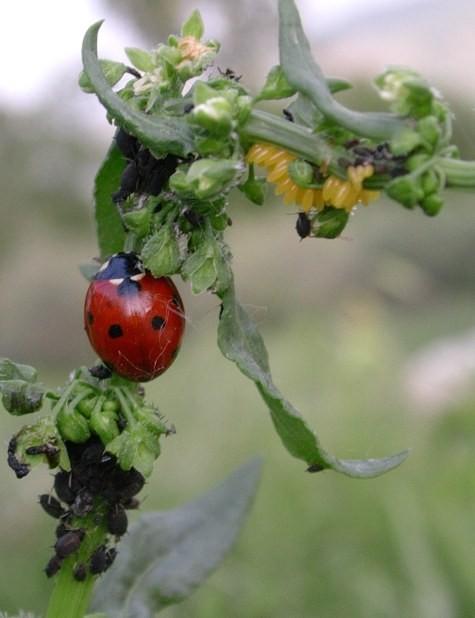 Coccinella 7-punctata su pianta di Rumex pulcher vicino alle uova (gialle) deposte dove le larve appena nate troveranno subito cibo abbondante